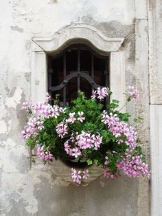 Hardy Pink Geraniums and a time stone window frame.