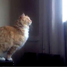 #VIDEO: Skimbles, es un gato subido de peso que pensó un poco, calculó la distancia, saltó y...