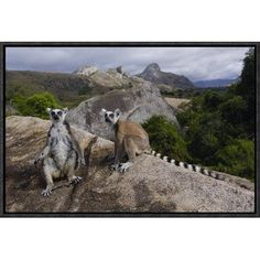 """East Urban Home 'Ring-Tailed Lemur Pair' Framed Photographic Print on Canvas Size: 12"""" H x 18"""" W x 1.5"""" D"""