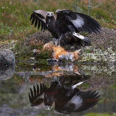 Golden Eagle Vs Fox..there can only be one out come. This photo is by Jari Peltomäki. Check out his amazing work on his Facebook page guys!! https://www.facebook.com/JariPeltomakiWildlifePhotography/photos_stream