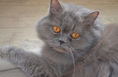 7 Grooming Tips For Long-haired Cats – iHeartCats.com – All Cats Matter ™