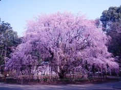"The ""Shidare Sakura (Weeping Cherry Blossom)"" in full bloom....want one of these trees in my yard someday....so beautiful"