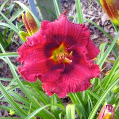 SANTA'S LITTLE HELPER - DAYLILY. A great grower in our garden. We use this smaller sized plant and flower in the border. Visitors love the darker eye and and great plant habits.  A good supply in pots this year. #daylily