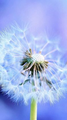 Wallpaper Android Samsung - Pure Blowing Dandelion Blue Background - Wallpapers World Samsung Wallpapers, Iphone 5s Wallpaper, Wallpaper App, Live Wallpapers, Flower Wallpaper, Nature Wallpaper, Blowing Dandelion, Dandelion Flower, Boxing Day