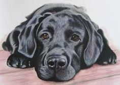 Image result for how to draw a labrador