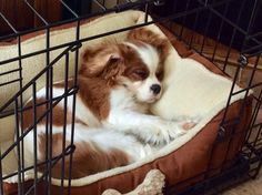 Everything About Smart Cavalier King Charles Spaniel Temperament King Charles Puppy, Cavalier King Charles Dog, King Charles Spaniel, Puppies And Kitties, Doggies, Puppy Mix, Spaniel Dog, Beautiful Dogs, I Love Dogs