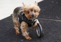 Meet Hope. The cutest Yorkshire Terrier on one wheel. three legged dog tripod