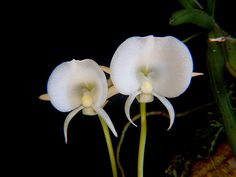 Orchid: Angraecum scottianum - Google Search