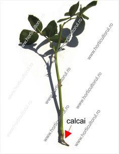 Inmultirea trandafirului Garden Landscaping, Gardening, Landscape, Plant, Front Yard Landscaping, Scenery, Lawn And Garden, Corner Landscaping, Horticulture