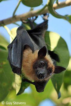 gigante murciélago de la fruta