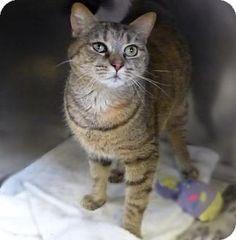 Westampton, NJ - Domestic Shorthair. Meet C-63013 Moxi **PURRFECT PERKS**, a cat for adoption. http://www.adoptapet.com/pet/12749492-westampton-new-jersey-cat
