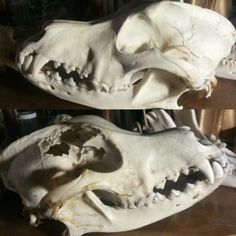 Nature cleaned wolf skull with a major skeletal injury. Looks like he got on the wrong farmers bad side. Someone needs to give that guy a major head injury. Types Of Bones, Dog Skull, Animal Bones, Skull And Bones, Taxidermy, Cool Costumes, Witchcraft, Art Inspo, Character Inspiration