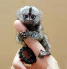 A baby common marmoset (Callithrix jacchus). They might be completely adorable, but you do NOT want one as a pet. They have very tiny, very sharp teeth and they bite.