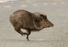 The only species found in the United States is the collared peccary, or javelina. Description from pinterest.com. I searched for this on bing.com/images