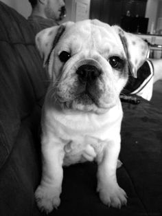 well look at you Cute Puppies, Cute Dogs, Bulldog Puppies, Awesome Dogs, Terrier Puppies, Lab Puppies, Boston Terrier, I Love Dogs, Puppy Love