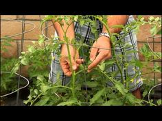Pruning your Tomato Plants to get Big Tomatoes with California Gardener