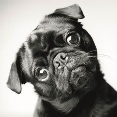 Loads more Pug per gallon. Funny Pug vines of 2014 part 2 Best Funny Pug Vines of 2014 Part 2 Loads more Pug per gallon. Funny Pug vines of 2014 part 2 Amor Pug, I Love Dogs, Cute Dogs, Pug Quotes, Photo Animaliere, Pugs And Kisses, Baby Pugs, Pug Pictures, Dog Years