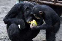 We've been caring for more than 60 chimpanzees, abandoned in Liberia by the New York Blood Center, for more than a year.