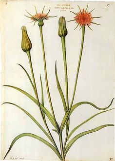 Picturing Plants and Flowers: Goat's Beard