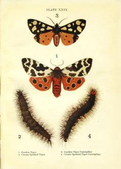 Butterflies and moths, - Biodiversity Heritage Library. Garden Tiger Moth: http://biodiversitylibrary.org/page/42193562
