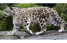 What is Snow Leopard | Unknown Facts about Snow Leopards
