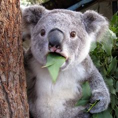 Koala is a poor and cute animal. It eats poisonous leaves every day and sleeps for 20 hours a day. Pray for them in the jungle fire Koala Meme, Funny Koala, Funny Animals, Cute Animals, Animal Fun, Wild Animals, Animals Beautiful, Wildlife Photography, Animal Photography