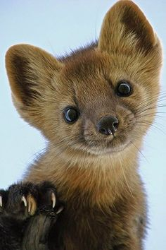 Pine Martens Happen to Be Shockingly Cute. #pinemartens #animals #cute