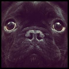 this was my Daisy my lil black pug I miss her and will see her again someday when I get HOME