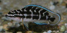 Julidochromis transcriptus - Wild and Pet