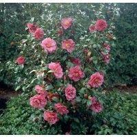 Camelia (Camellia japonica)