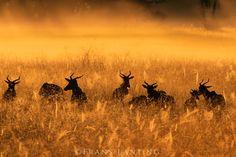 #photographer : Frans Lanting - Topis at dawn, Damaliscus lunatus, Okavango Delta, Botswana