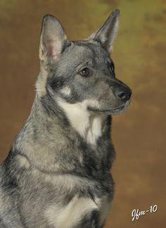 Jämthund (Swedish Elkhound)