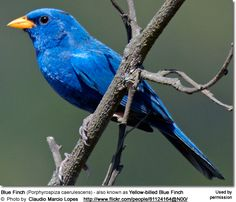 The Rare and Endangered Blue Finch (Porphyrospiza caerulescens) - also known as Yellow-billed Blue Finch - Featured Photo