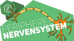 Peripheres Nervensystem einfach erklärt