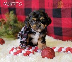 #Shorkie #Charming #PinterestPuppies #PuppiesOfPinterest #Puppy #Puppies #Pups #Pup #Funloving #Sweet #PuppyLove #Cute #Cuddly #Adorable #ForTheLoveOfADog #MansBestFriend #Animals #Dog #Pet #Pets #ChildrenFriendly #PuppyandChildren #ChildandPuppy #LancasterPuppies www.LancasterPuppies.com Shorkie Puppies For Sale, On Shot, Lancaster Puppies, Animals Dog, Mans Best Friend, Yorkie, Puppy Love, Pets, Sweet