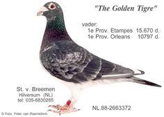 Pigeons For Sale, Pigeon Pictures, Racing Pigeons, Van, Birds, Pictures, Animales, Pigeon, Bremen