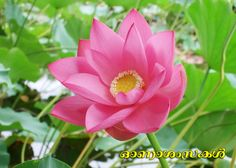 Macro pink lotus flowers with bees eating for nature backgrounds flowers always make people better happier and more helpful they are sunshine food and medicine for the soul mightylinksfo Choice Image
