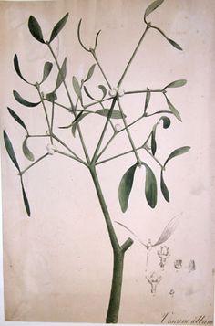 mistletoe-botanical-print.jpg (307×465)