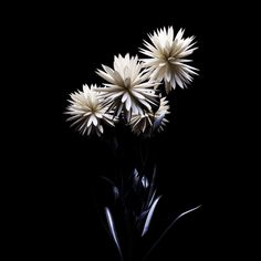 Trending GIF nature flower surreal aesthetic plant 360 black love petals g-vnct I Am Nothing, Nothing Without You, Flowers Gif, Free To Use Images, Plant Aesthetic, Nature Images, Black Love, High Quality Images, Dandelion