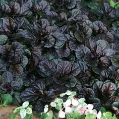 Ajuga 'Black Scallop'  Bloom Season 	Late Spring - Early Summer Habit 	Mound-shaped Plant Height 	4 in - 6 in Plant Width 	3 ft Additional Characteristics 	Easy Care Plants, Flower Bloom Color 	Dark Blue Foliage Color 	Dark Green, Purple Light Requirements 	Full Sun, Part Shade Soil Tolerance 	Normal,  loamy Uses 	Foliage Interest, Ground Cover