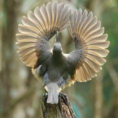 Bird of Paradise Juvenile