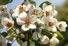 #MELLIFERES POIRIER #arbres #fruits  floraison : Avril – mai Avril Mai, Illustrations, Plants, Gardens, Handstand, Illustration, Plant, Planting, Planets