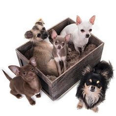 Pretty as a picture ❤️ these girls know how to work a camera #edinburghchihuahuacafe #dogcafe #amathechi #ladybee #cleopatra #duchess #elsa #photoshoot #love #princess #diva #pose #puppy #dog #chihuahua #thatface #beauty #box #cute #family #sisters #favourites #edinburgh http://misstagram.com/ipost/1549400978708838143/?code=BWAk_smlTb_