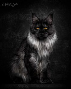 Beautifully Stunning Portraits of Maine Coon Cats by Robert Sijka. l Beautifully Stunning Portraits of Maine Coon Cats by Robert Sijka. Gatos Maine Coon, Chat Maine Coon, Maine Coon Kittens, Gato Maine, Big Cats, Crazy Cats, Cats And Kittens, Cute Cats, Ragdoll Kittens