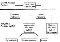 MNRI brain resource Occupational Therapy, Physical Therapy, Cerebral Palsy Awareness, Sensory Motor, Central Nervous System, Spinal Cord, Qigong, Aspergers, Pediatrics
