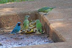 Foto saí-andorinha (Tersina viridis) por Ivan Angelo | Wiki Aves - A Enciclopédia das Aves do Brasil