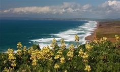 Photo: Lupine bloom on top of California's Point Reyes beach landscape