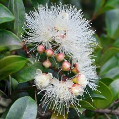 Syzygium Lilly Pilly Resilience - compact, tightly-growing up to for screening Australian Native Garden, Australian Native Flowers, Australian Plants, Australian Wildflowers, Fast Growing Trees, Native Australians, New Roots, Moon Garden, Plants Online