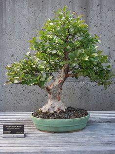 8 Crepe Myrtle Ideas Crepe Myrtle Bonsai Tree Bonsai