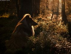 Tässä on hyvä... - koira lemmikki sheltti shetlanninlammaskoira ystävä rauha rauhallisuus lämpö aurinko auringonlasku hyvä olo mielihyvä siluetti vastavalo valo metsä